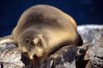 Galápagos-Seelöwe (Zalophus wollebaeki), Galapagos
