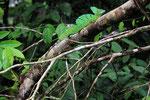 Stirnlappen-Basilisk, Tortugera Nationalpark, Costa Rica