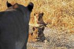 Löwenbaby, Moremi Game Reserve, Okavango-Delta