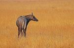 Nilgai-Antilope, Velavadar Nationalpark, Gujarat