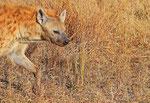 Tüpfelhyäne, Moremi Game Reserve Nationalpark, Okavango-Delta