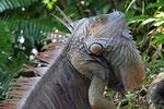 Grüner Leguan, Tortugera Nationalpark, Costa Rica