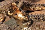 Kuba-Krokodil, La Boca, Zapata-Halbinsel