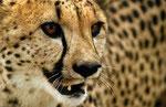 Gepard, Savuti Region, Chobe Nationalpark