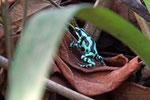 Goldbaumsteiger, Costa Rica