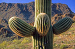 Organ Pipe Cactus Nationalpark, Arizona