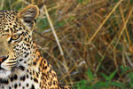 Leopard (Panthera pardus), Moremi Game Reserve, Botswana