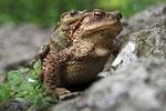 Erdkröte (Bufo bufo), Kroatien
