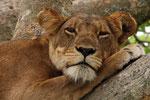 Baumlöwe, Ishasha-Gebiet, Queen Elizabeth Nationalpark, Uganda