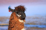 Lama, Laguna Colorada, Bolivien