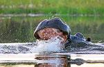 Flusspferd,  Moremi Game Reserve, Okavango-Delta