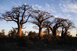 Baobabs, Savuti Region, Chobe Nationalpark