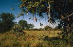 Leberwurstbaum, Moremi Game Reserve, Okavango-Delta