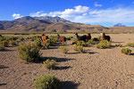 Lamas im Dorf Aravilla, Nationalpark Volcan Isluga, Chile
