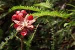 Rosenapfelblüte, Tanjung Puting Nationalpark, Borneo