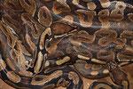 Python, Benin