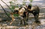 Wildhunde, Kwai River Region, Moremi Game Reserve, Okavango-Delta