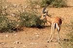 Indische Gazelle, Ranthambore Nationalpark, Rajasthan
