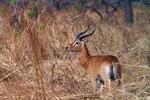 Kob-Antilope, Pendjari Nationalpark, Benin
