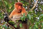 Nasenaffe, Tanjung Puting Nationalpark, Borneo