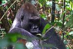 Flachlandgorilla (Gorilla gorilla gorilla), Kongo