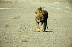 Löwe, Kalahari Game Reserve