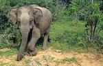Asiatischer Elefant (Elephas maximus), Yala Nationalpark, Sri lanka