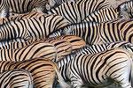 Steppenzebra, Etosha Nationalpark