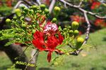 Flammenbaumblüte, Iles de Salut, Französisch Guayana