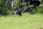 Flachlandgorilola,  Mbeli-Bai, Parc National Nouabalé-Ndoki, Republik Kongo