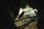Kolibri, Pantanal, Brasilien