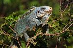 Grüner Leguan, Iles de Salut, Französisch Guayana