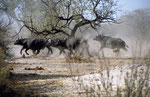 Kaffernbüffel, Kwai River Region, Moremi Game Reserve, Okavango-Delta