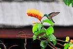 Blaukinn-Smaragdkolibri, Paramaribo, Surinam