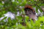 Roter Colobus, Nyabubale, Uganda