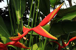 Heliconia, Eastern Highlands