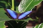 Blauer Morphofalter, Tortugera Nationalpark, Costa Rica