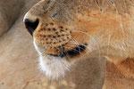 Löwin, Moremi Game Reserve, Okavango-Delta