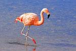 Chile-Flamingo, Laguna Hedionta, Bolivien