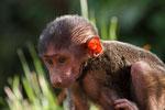 Pavian-Baby, Uganda