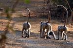 Hanuman-Languren, Sasan Gir Nationalpark, Gujarat