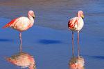 James-Flamingos, Laguna Hedionta, Bolivien