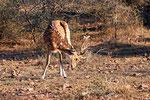 Axishirsch, Ranthambore Nationalpark, Rajasthan