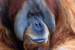 Sumatra-Orang-Utan (Pongo abelii), Zoo Leipzig