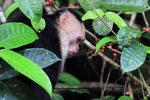 Kapuziner-Affe, Tortugera Nationalpark, Costa Rica