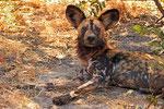 Afrikanischer Wildhund (Lycaon pictus), Moremi Game Reserve, Botswana