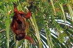 Roter Brüllaffe, Orinoco-Delta