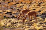 Vicuna (Vicugna vicugna), Salar de Surire, Chile