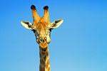 Giraffe (Giraffa camelopardalis), Nxai Pan Nationalpark, Botswana