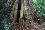 Im Regenwald, Republik Kongo